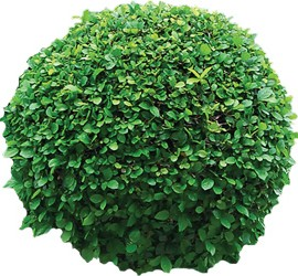 Qualm_evergreen_all_year_round_tree