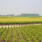 buxus, landschap, qualm, boomkwekerij